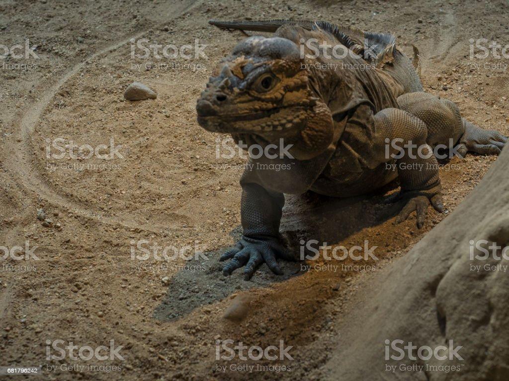 Iguana rinoceronte stock photo