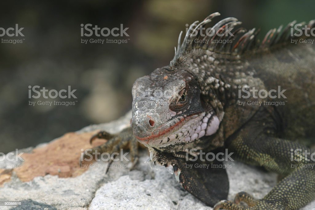 Iguana series royalty-free stock photo