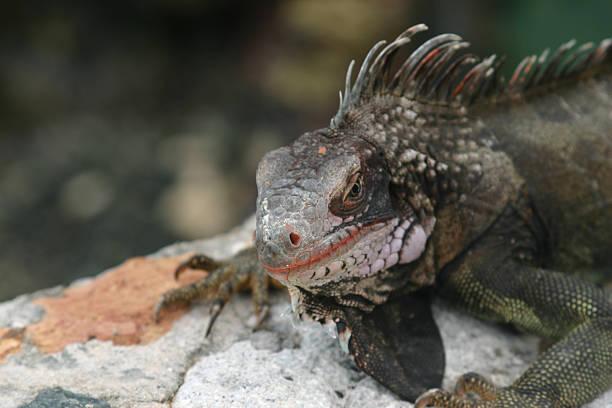Iguana series stock photo
