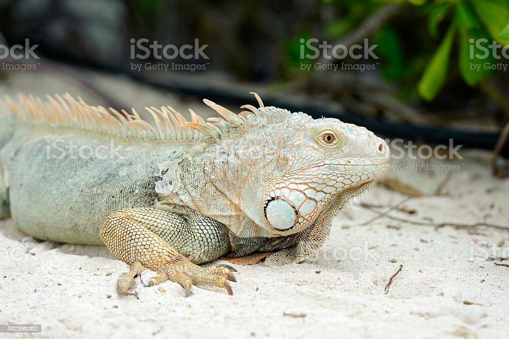 iguana sitting on rocks stock photo