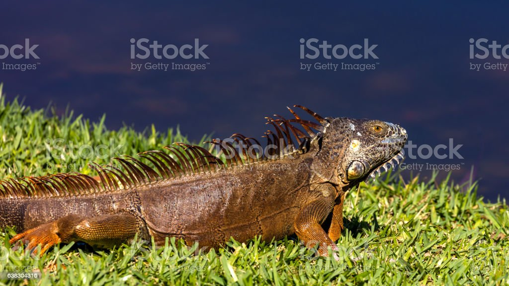Iguana sunbathing on the beach, portrait from the site, Florida stock photo