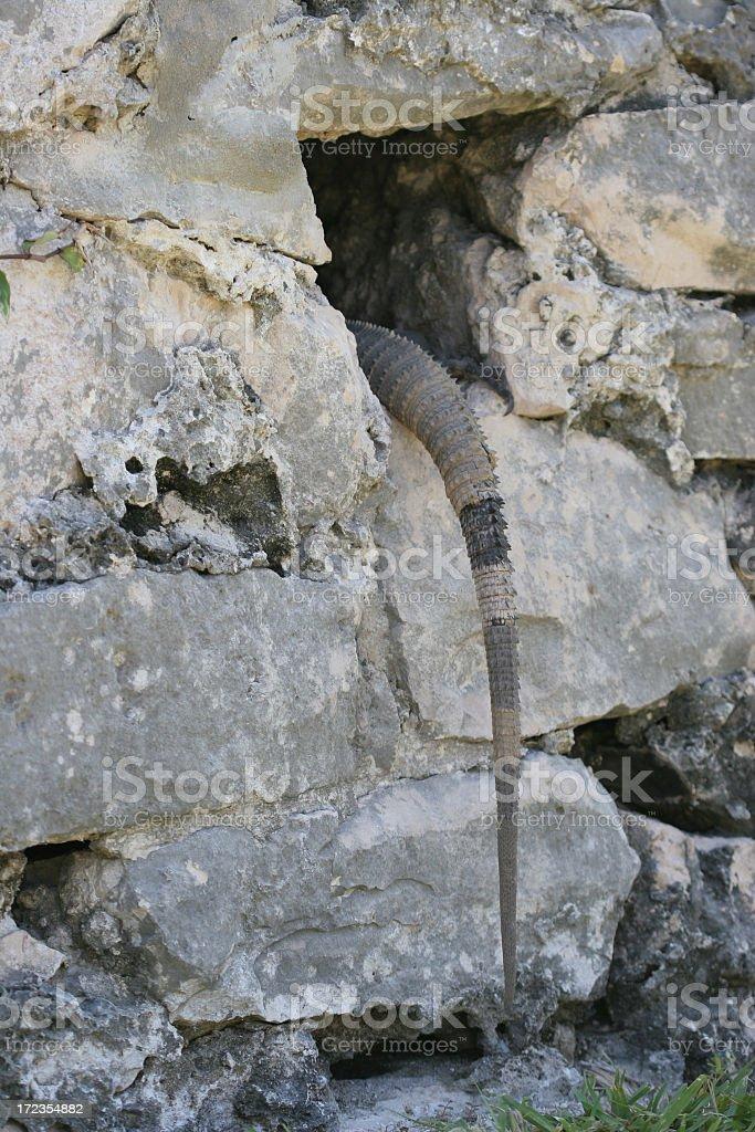 Iguana tail royalty-free stock photo