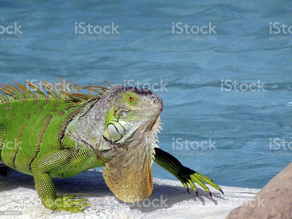 Green bearded iguana walks along side of swimming pool.For more...