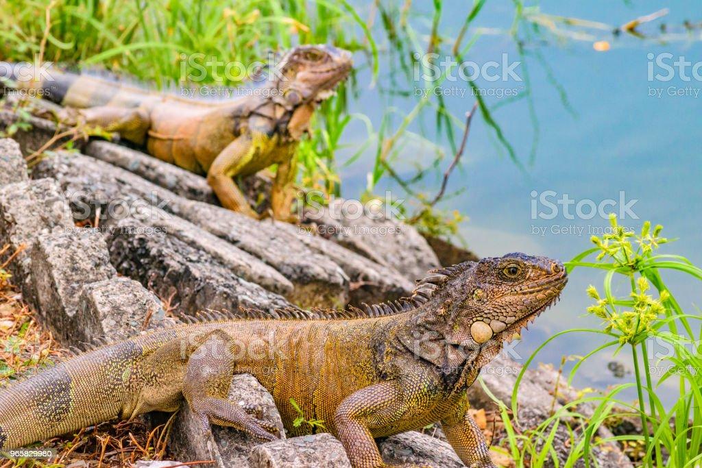 Iguanas at Shore of River - Royalty-free Animal Stock Photo