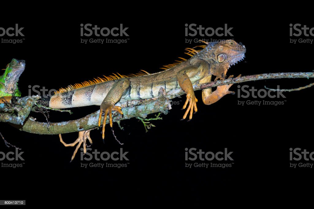 Iguanas at night on the tree branch at the edge of river Papaturro...
