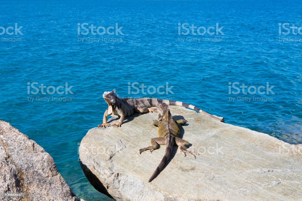 Iguanas sunbathing on rocks at seaside in Aruba stock photo