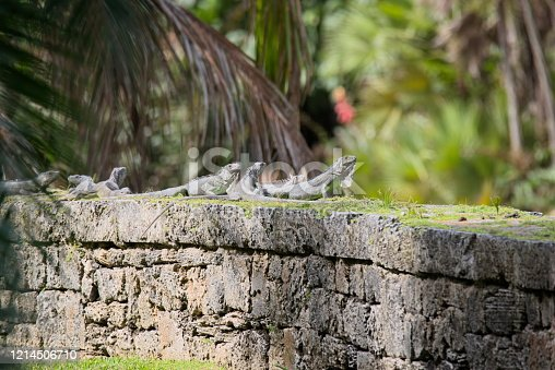 Adult Green Iguanas sunning on a stone wall   A most unwelcome creature in Florida, no hunting license required