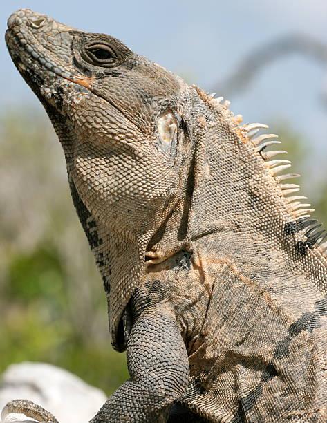 Iguane au Mexique – Foto