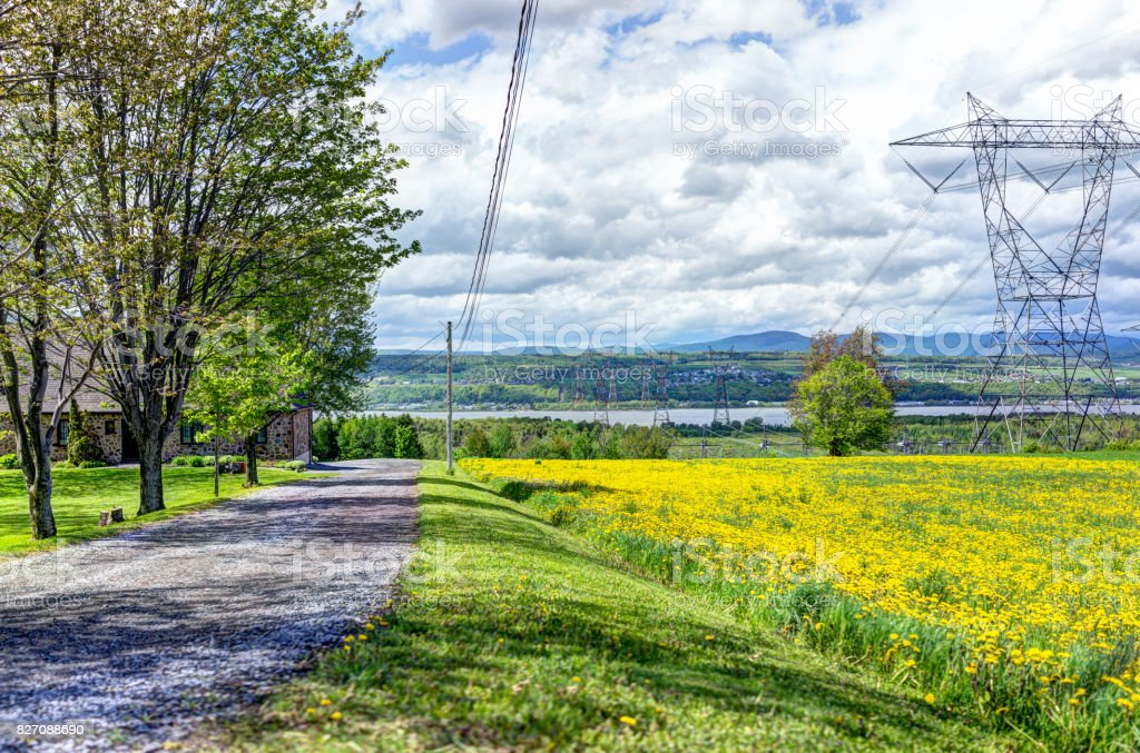 Ile D'Orleans landscape with field of yellow dandelion flowers in summer and electric power lines stock photo