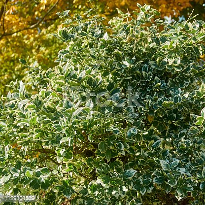 Ilex  aquifolium Argentea Marginata in nature. Christmas holly. Mysterious plant, which is reflected in Spanish poetry. Close-up. Natural texture for design.