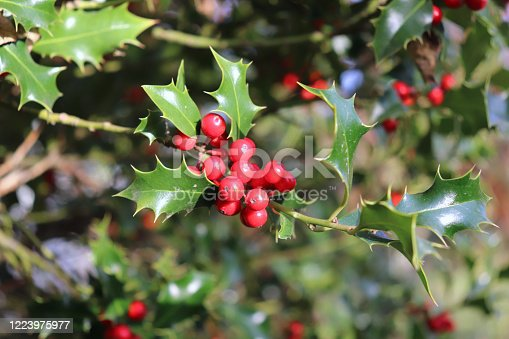 Ilex, or holly, It is a genus of small, evergreen trees with smooth, glabrous, or pubescent branchlets. The plants are generally slow-growing. Nature concept.