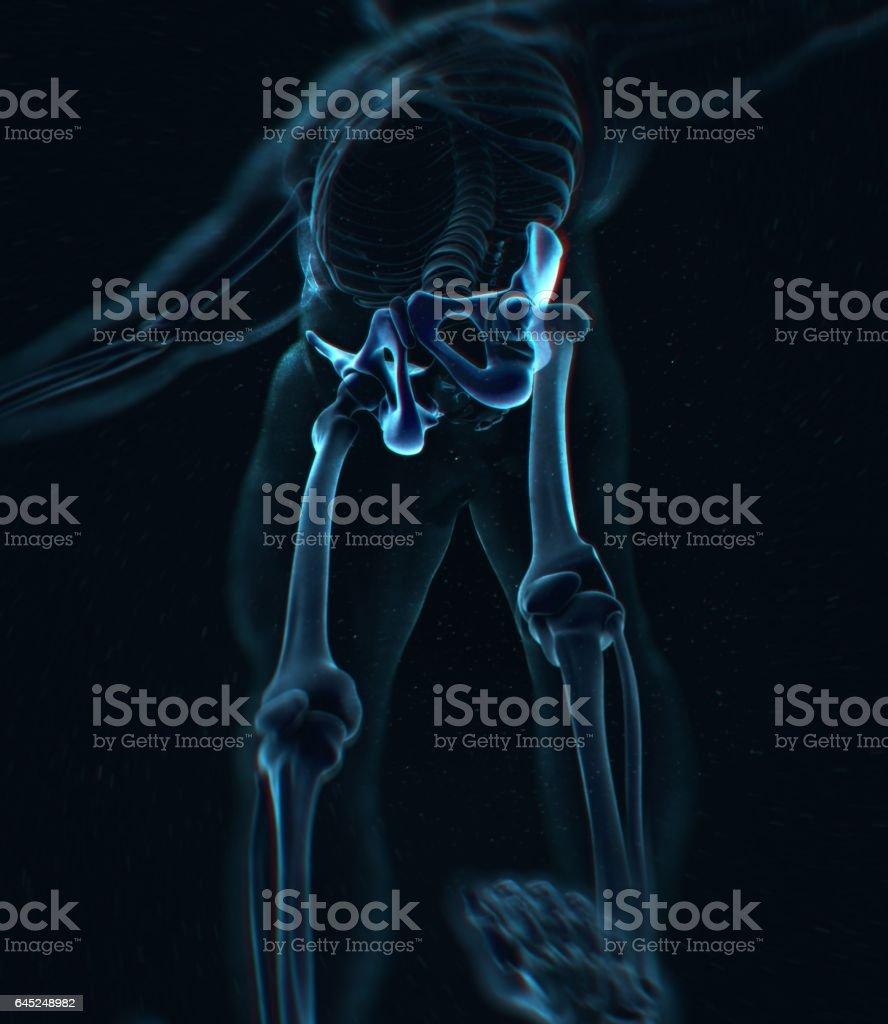 Ilium Knochen Hüftknochen Becken Menschliche Anatomie ...