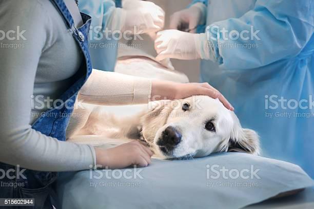 Ill retriever in veterinary clinic picture id515602944?b=1&k=6&m=515602944&s=612x612&h=gjb2kgl5jho96k3 ik1faegf3oxxrnkyqi4naruezx0=