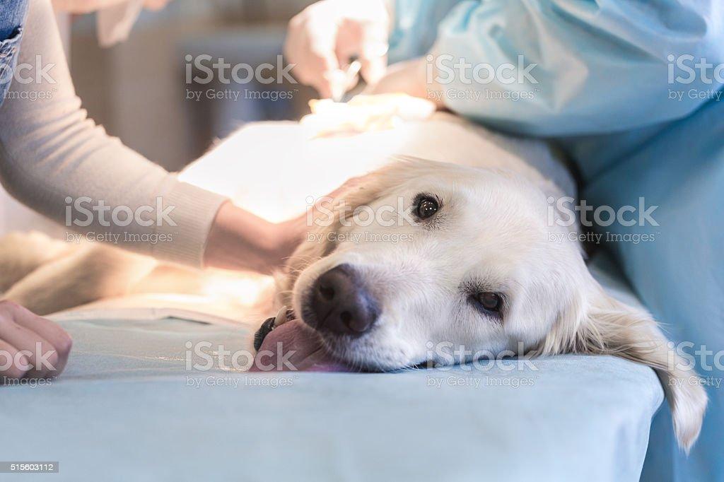 Ill retriever in veterinary clinic. Ill golden retriever on operating table in veterinarian's clinic Animal Stock Photo