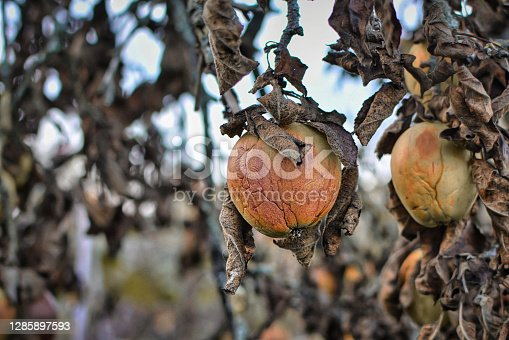 Ill shriveled apple on branch with dead dry brown leaves of sicj apple tree befallen by sickness