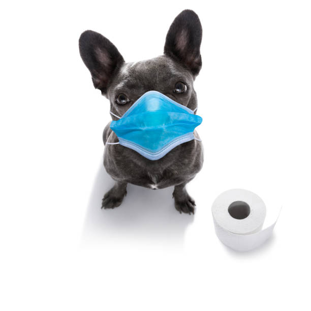 ill sick dog with illness and face mask , cornavirus all over stock photo