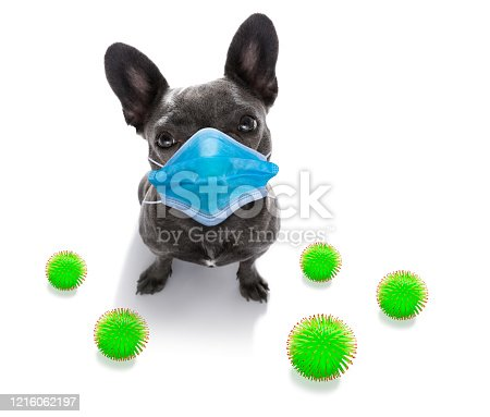 sick and ill french bulldog  dog  isolated on white background with  face mask and viral coronavirus all over