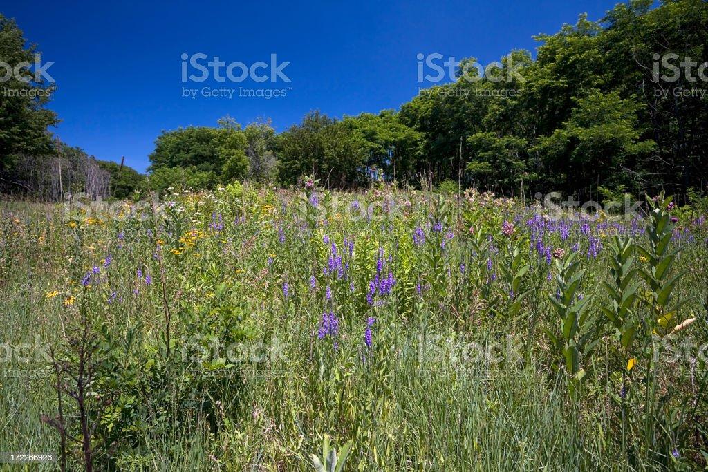 Illinois Prarie Flowers royalty-free stock photo