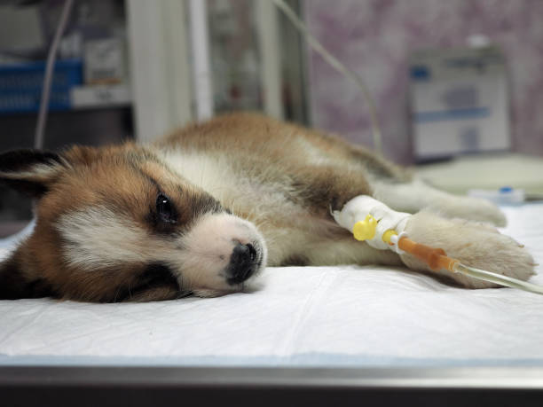 Illness puppy with intravenous anything on the operating table in a veterinary clinic stock photo
