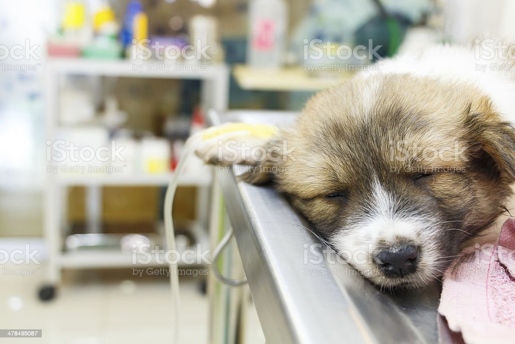 illness puppy with intravenous drip on operating table stock photo