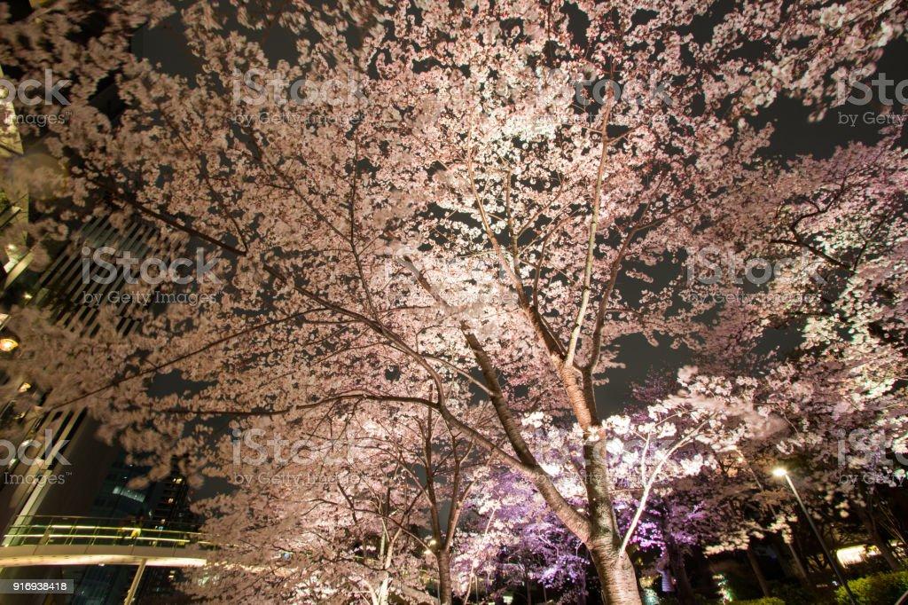 Illuminated Cherry trees along the street at Tokyo Midtown,Minato-Ku,Tokyo,Japan in spring,2017. stock photo