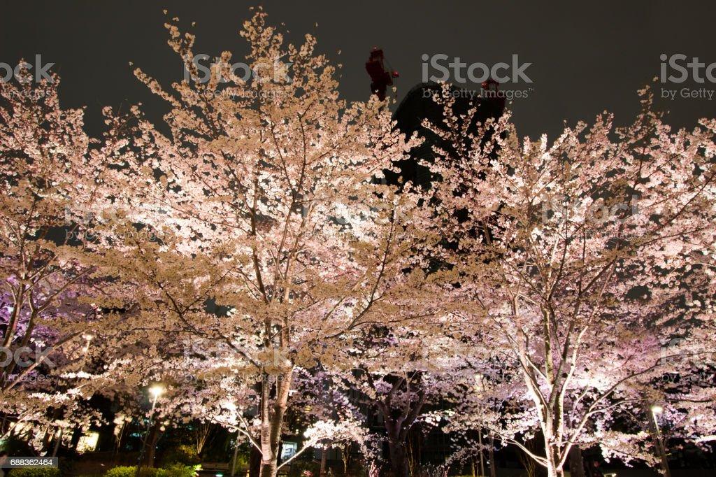 Illuminated Cherry trees at Tokyo Midtown,Tokyo,Japan stock photo