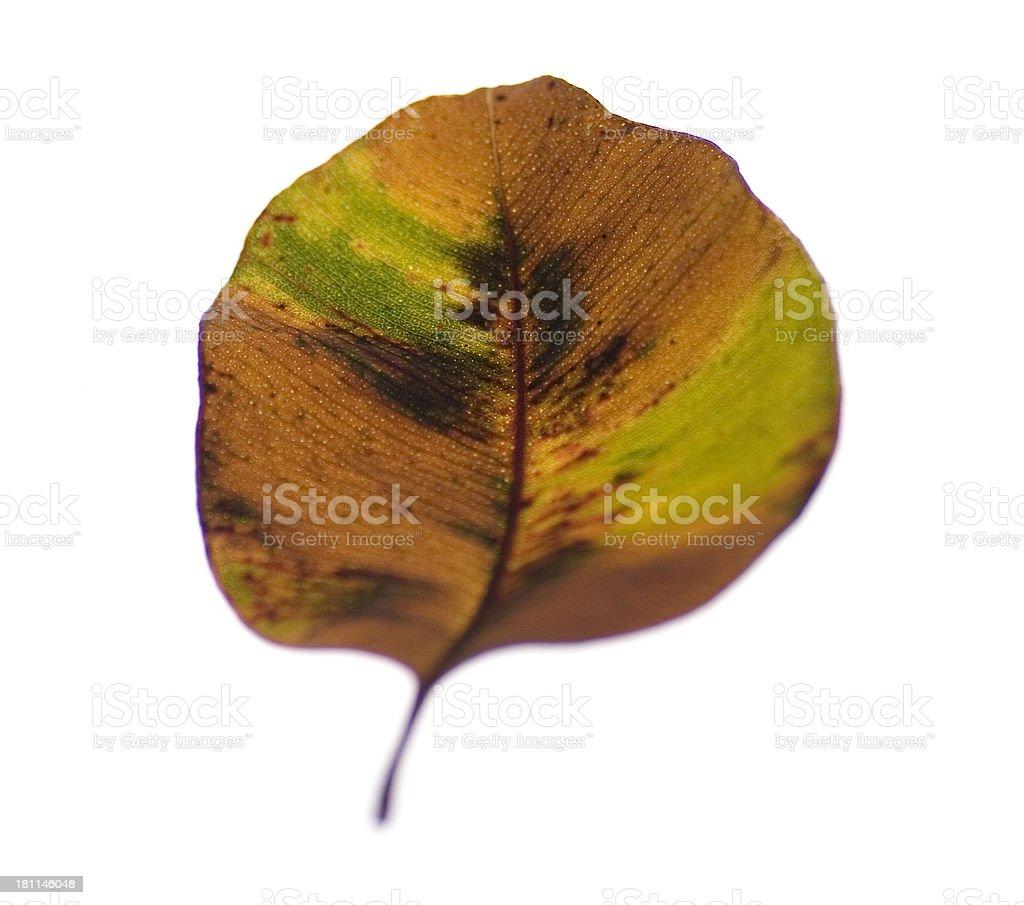 Illuminated Leaves: Multicolored Leaf royalty-free stock photo