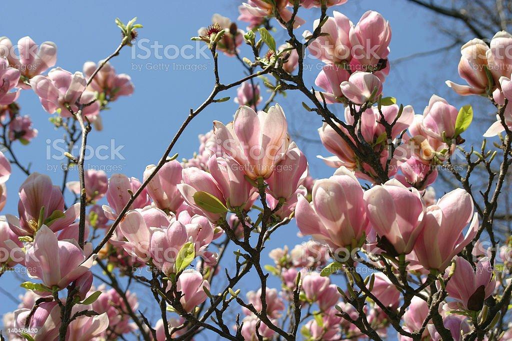 illuminated magnolia royalty-free stock photo