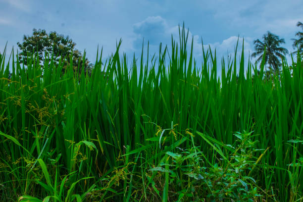 illustrastion photograph of green rice field stock photo
