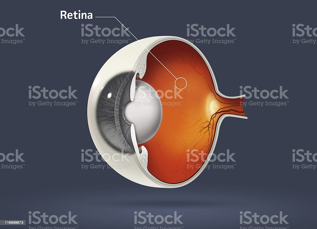 Illustrated Sliced Eyeball Retina Diagram Stock Photo More