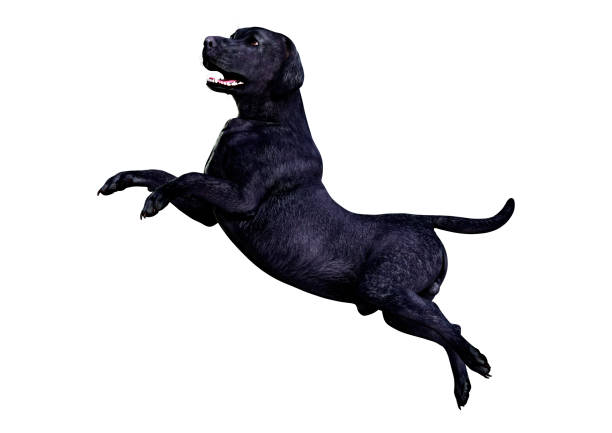 Illustration black labrador dog on white picture id1127533760?b=1&k=6&m=1127533760&s=612x612&w=0&h=9vh7kxwzxfmccvgqzotwruc7 e7bigaudhtrcfy beg=