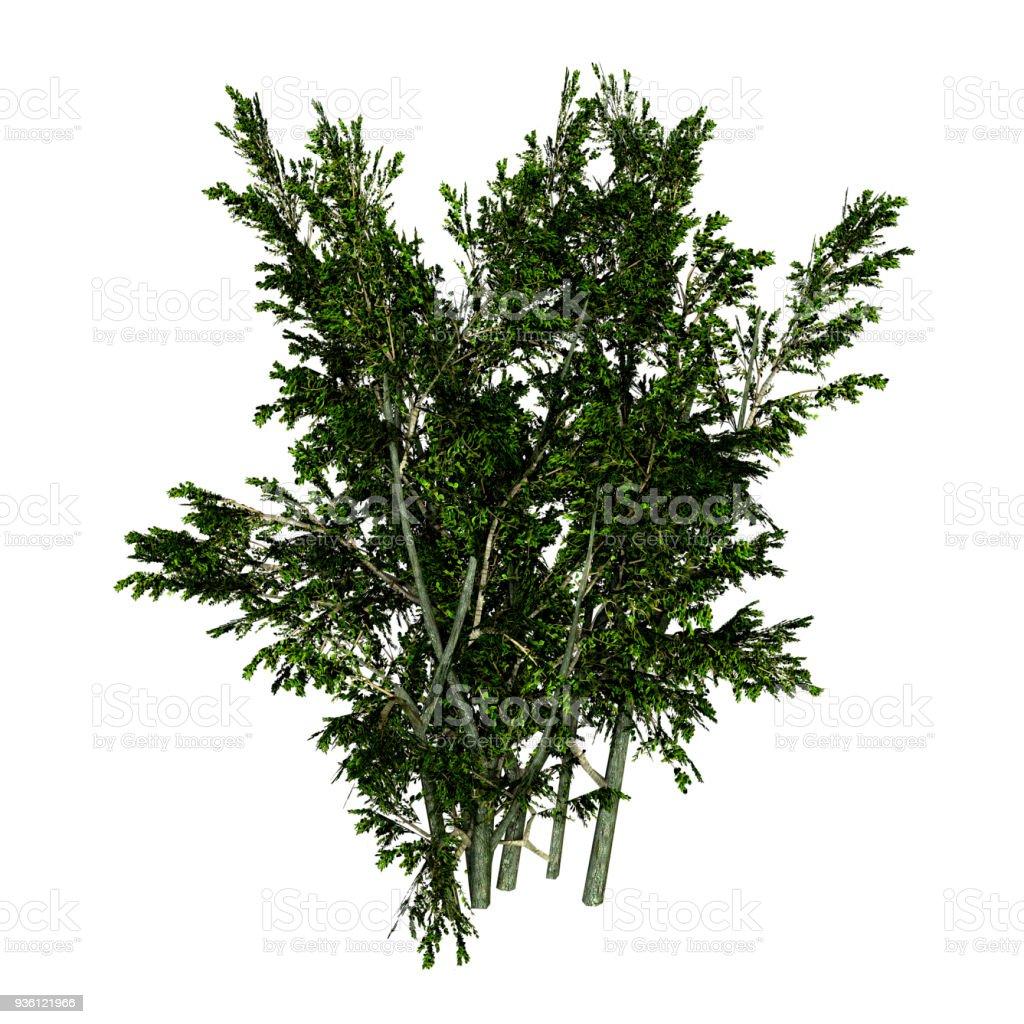 3D illustration creosote bush on white stock photo