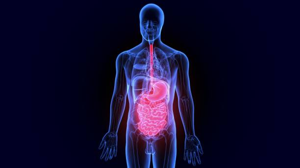 3d illustration digestive system of human anatomy. - esophagus stock photos and pictures