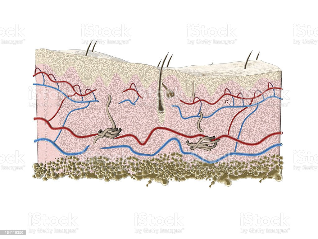 Illustration Epidermis And Hair Follicle Stock Photo & More Pictures ...
