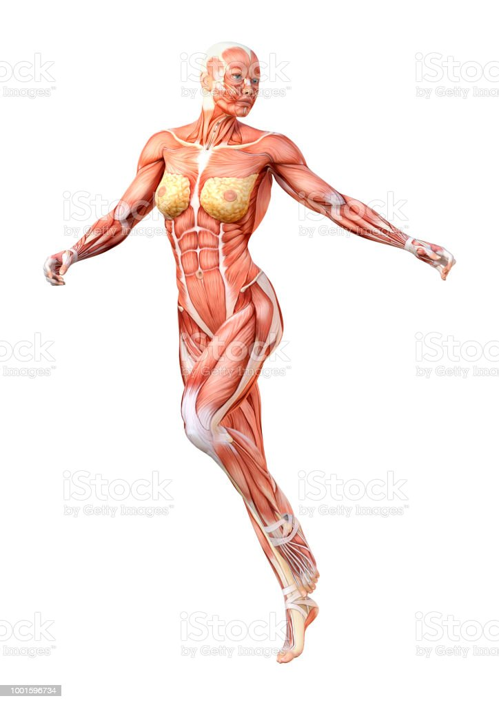 3D illustration female figure with muscle maps on white stock photo