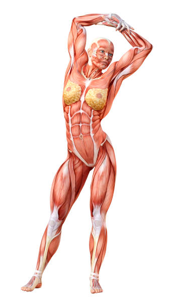 Royalty Free Anatomy Woman Body Clip Art Pictures Images And Stock
