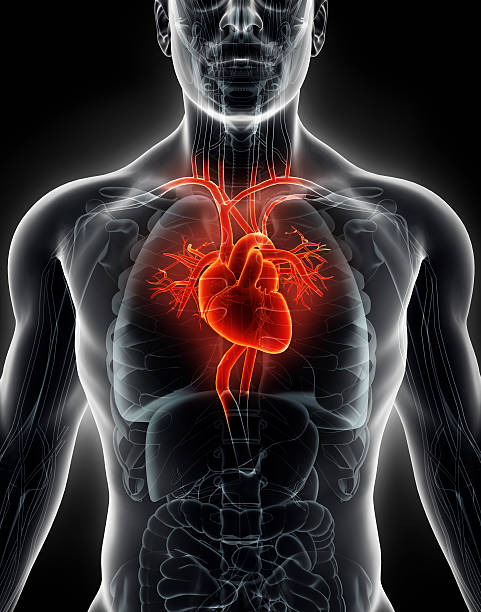 3d illustration human internal organic - human heart. - human heart stock photos and pictures