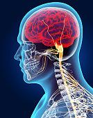istock 3D illustration male nervous system. 514260504