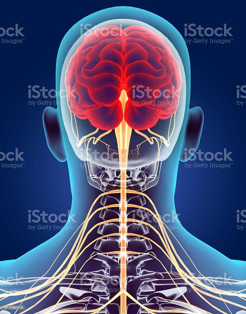 Fotografía de 3 D Ilustración Masculino Sistema Nervioso y más banco ...