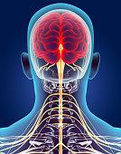 istock 3D illustration male nervous system. 514260716