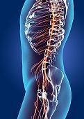 istock 3D illustration male nervous system. 514260864
