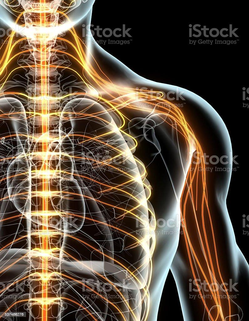 3 D Abbildung Männliche Nervensystem Stock-Fotografie und mehr ...