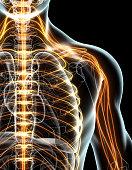 istock 3D illustration male nervous system. 537466276