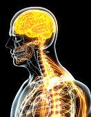 istock 3D illustration male nervous system. 537466770