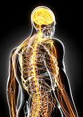 istock 3D illustration male nervous system. 538872240