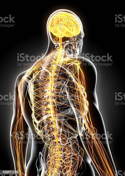 Illustration male nervous system picture id538872240?b=1&k=6&m=538872240&s=612x612&h=kl96 co3iy4qmswlg tcescw79xqgcx4gfieq5gbfni=