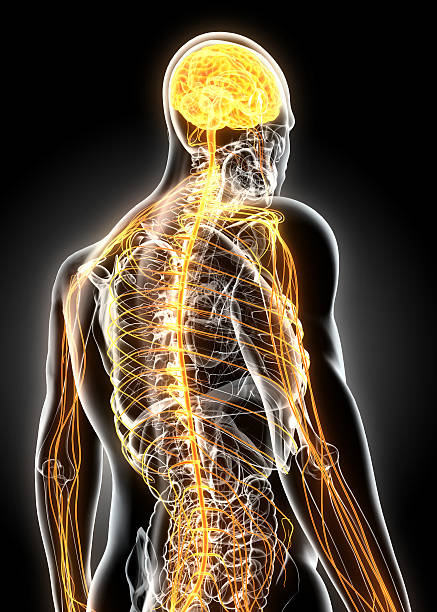 3D illustration male nervous system. 3D illustration male nervous system, medical concept. spine body part stock pictures, royalty-free photos & images