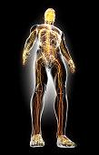 istock 3D illustration male nervous system. 538872488