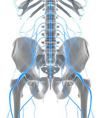 istock 3D illustration male nervous system. 540377308