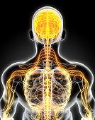 istock 3D illustration male nervous system. 541313382